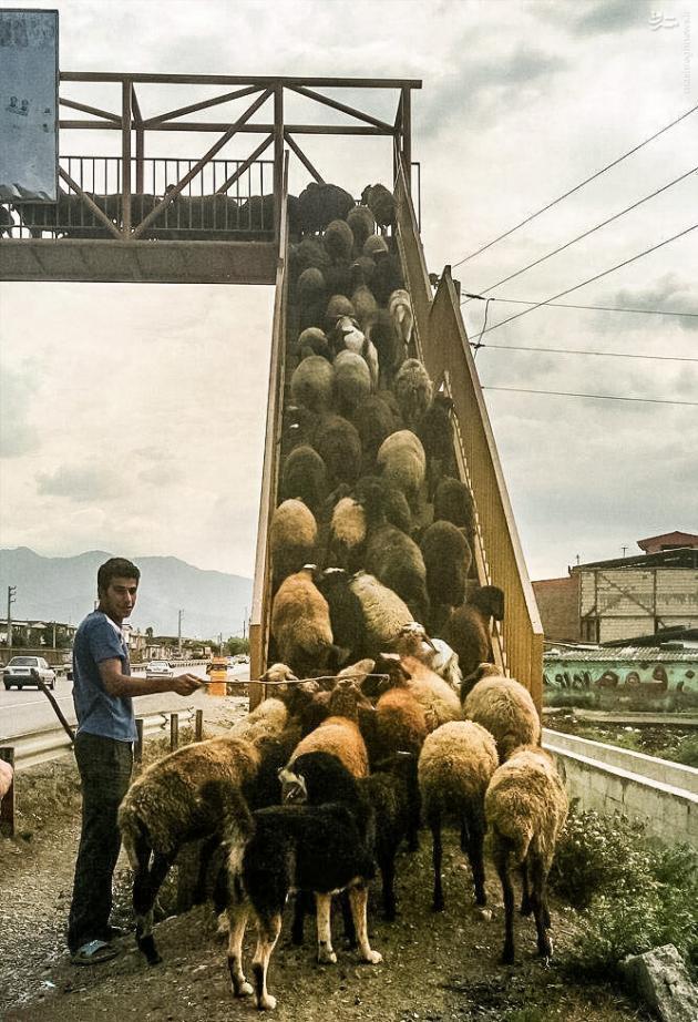 گوسفندان با فرهنگ