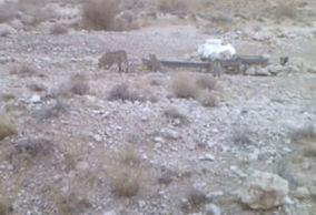 فیلم/ قابی دیدنی از پلنگ و تولههایش در دامغان
