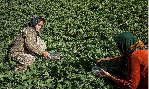 گلستان| تولید ۵۶ هزار تن انواع محصولات باغی در شهرستان رامیان