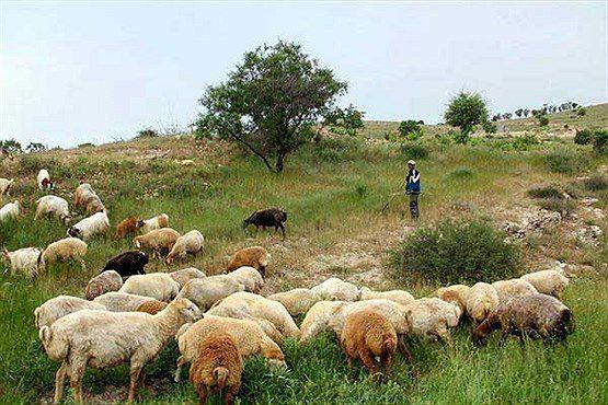 سود سرشار ستاره کلیدی پرسپولیس از 7 هزار رأس گوسفندش!