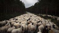 فیلم/ تردد آزادانه گوسفندان در شهر