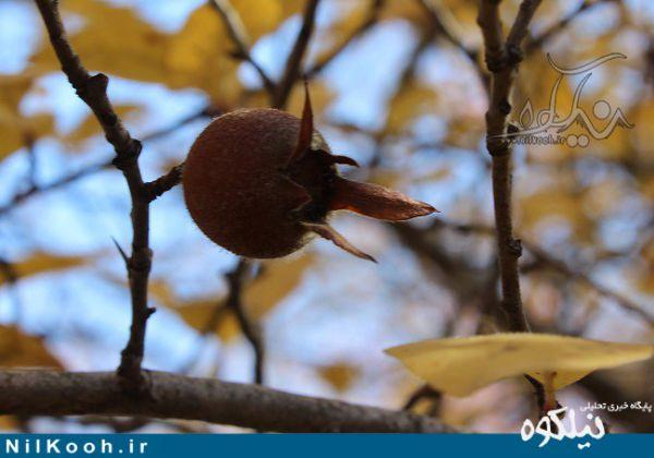 کُندِس میوهای شگفتانگیز در جنگلهای گالیکش + خواص درمانی و مصارف