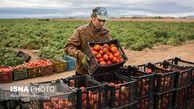خرید حمایتی گوجه در گلستان کلید خورد