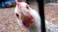 سلطان «مرغ» بازار ایران کیست؟