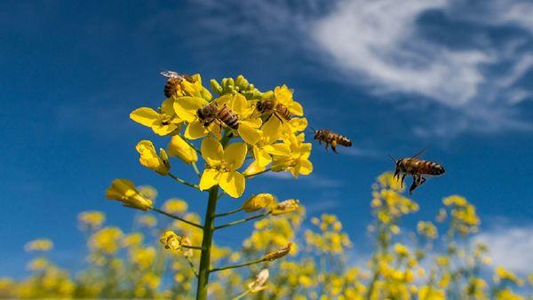 اطلاعیه جهاد کشاورزی کلاله برای جلوگیری از خسارت به زنبورداران