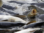 رهاسازی ۲ میلیون قطعه بچه ماهی کپور و کلمه در رودخانه های گلستان