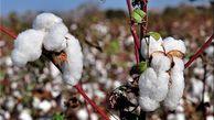 ۱۰۵۰ تن بذر پنبه آماده توزیع بین کشاورزان گلستانی است