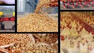 باقلای «بدون تانن» جایگزین کنجاله سویا و ذرت میشود/ کاهش وابستگی به واردات خوراک طیور