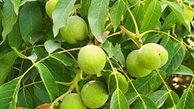 معرفی بهترین کود برای درخت گردو