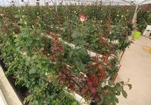 استفاده بهینه آب در گلخانه های زرند