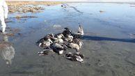 جمع آوری ۸۰۰ لاشه پرندگان مهاجر در سواحل بندرترکمن