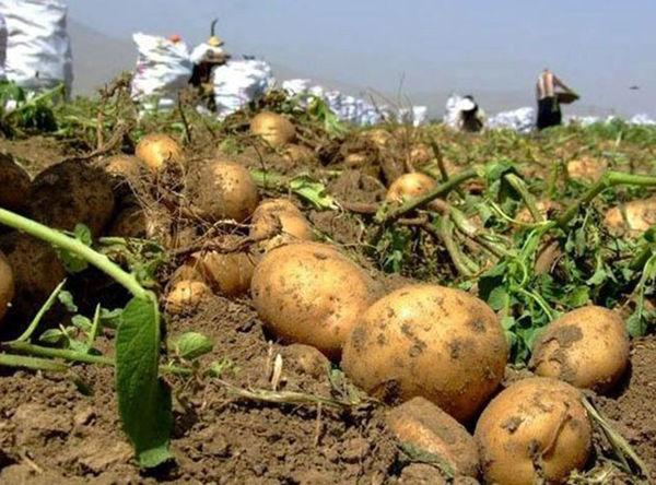 کشاورزان گلستان 6200هکتار سیب زمینی کشت کردند