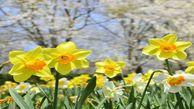 آغاز شکوفایی و برداشت گل نرگس از مزارع آزادشهر