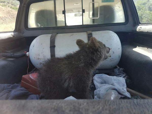 زنده گیری توله خرس مصدوم در گرگان