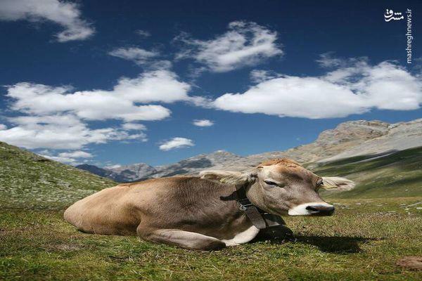 شادی عجیب گاوها بعد از رهایی+ فیلم