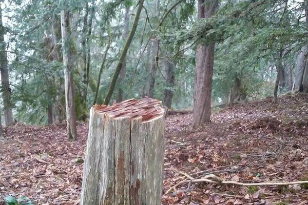 پرونده ویژه خرید و فروش چوب سرخدار در گلستان تشکیل شد