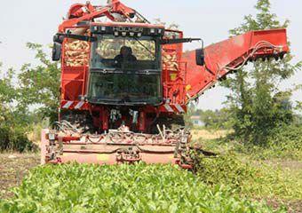آغاز برداشت چغندرقند در رامیان/ کشت 315 هکتار اراضی کشاورزی + تصاویر