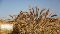 ۵۵۵ میلیارد ریال از بهای گندم کشاورزان گلستان پرداخت شد
