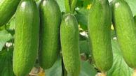برداشت حدود ۱۸ هزار تن خیار در گلستان