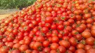 ۱۶ هزار تن خرید حمایتی گوجه فرنگی در گلستان انجام شد