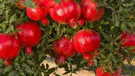 برداشت ۳ هزار و ۵۰۰ تن انار در گلستان