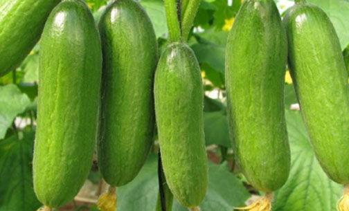 پیش بینی تولید ۳۱ هزار و ۵۰۰ تن خیار در گلستان