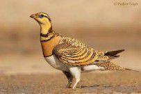 پرنده وحشی