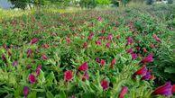 سند راهبردی کشت گیاهان دارویی در کشور تهیه شد
