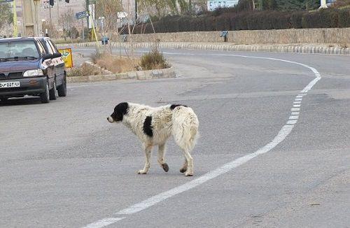 جمعیت سگهای ولگرد باید روز به روز کمتر و کنترل شود