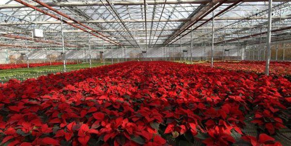 80 درصد فعالیت گلخانهای گلستان در گنبدکاووس است