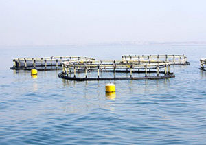 رهاسازی بیش از ۲ هزار قطعه ماهی خاویاری