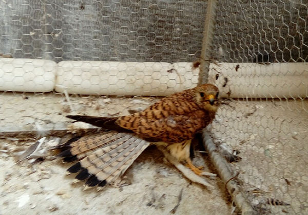 پرنده زخمی به محیط زیست غرب گلستان تحویل شد