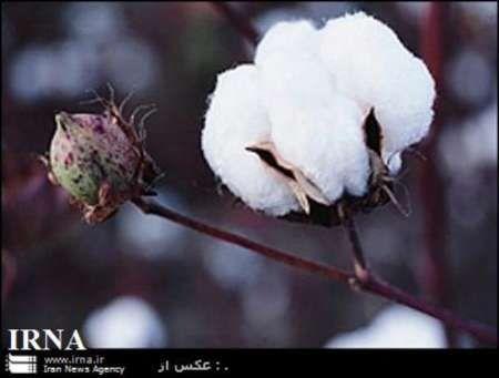 کشت ۲۰هزار هکتار پنبه از اراضی استان
