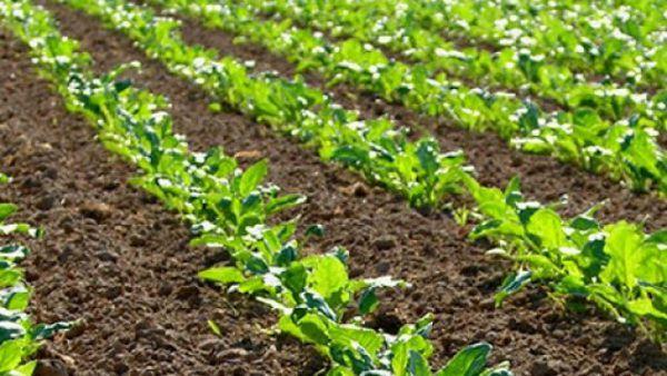 افزایش اعتبارات شهرستان ترکمن تا افزایش 30 درصدی کاشت چغندر قند در کلاله