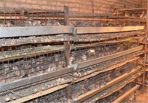 زنجیره تولید بلدرچین در شهرستان گالیکش افتتاح میشود