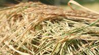 برداشت بیش از ۶۰۰ هزار تن برنج در گلستان