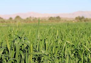 گندم با کیفیتتر /خرید بالاتر از قیمت تضمین شده