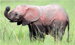 اولین فیل صورتی در جهان+تصاویر