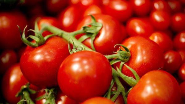 ۵۸ درصد گوجه فرنگی گلستان برداشت شد
