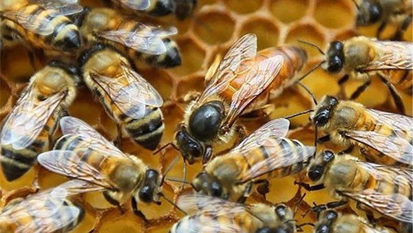 تجاری سازی ملکه زنبور عسل در بندرگز