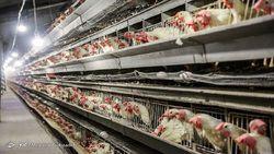ثبات قیمت مرغ در بازار/ نرخ مرغ به ۱۹ هزار تومان رسید