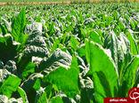 کاهش سطح کشت توتون در گلستان و چالشهای آن برای کشاورزان / آیا حمایت از محصول داخلی شامل توتون کاران نمیشود؟