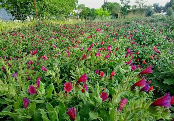 دهکده گیاهان دارویی در گالیکش احداث میشود