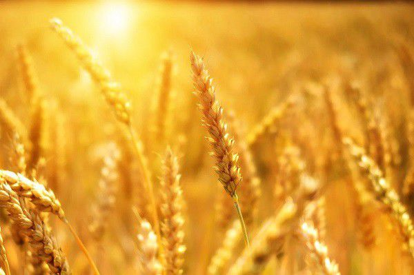 خروج گندم بدون بارنامه و مجوز غله ممنوع است
