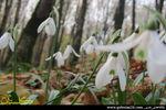 تصاویر زیبا گل بهمن یا گل برف در دل جنگل های گلستان