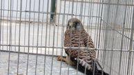 پرنده شکاری مصدوم به محیط زیست گلستان تحویل شد