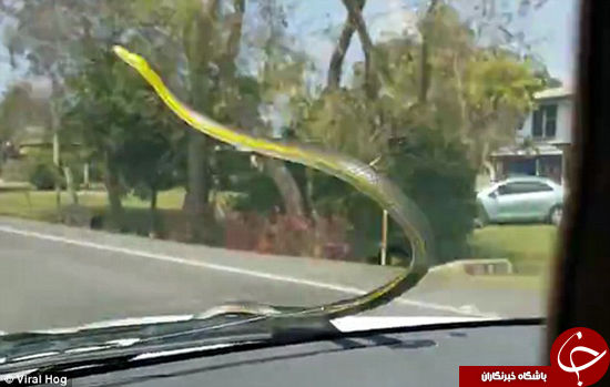 حمله مار به ماشین در حال حرکت +تصاویر