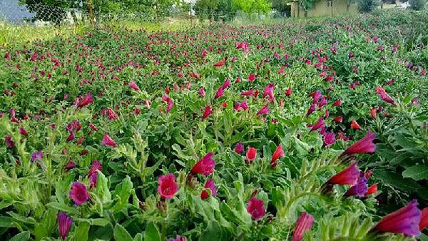 کشت گیاهان دارویی در ۸ هزار هکتار از اراضی گلستان