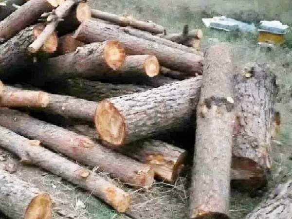 کشف 5اصله درخت قطع شده در آزادشهر