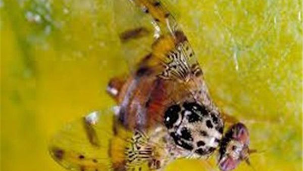 کم توجهی باغداران بندرگزی به آفت مگس میوه مدیترانهای